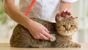 veterinarian checking cat
